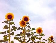 Sunflowers France, La Vie En C Rose