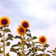 Sunflowers France, La Vie En C Rose
