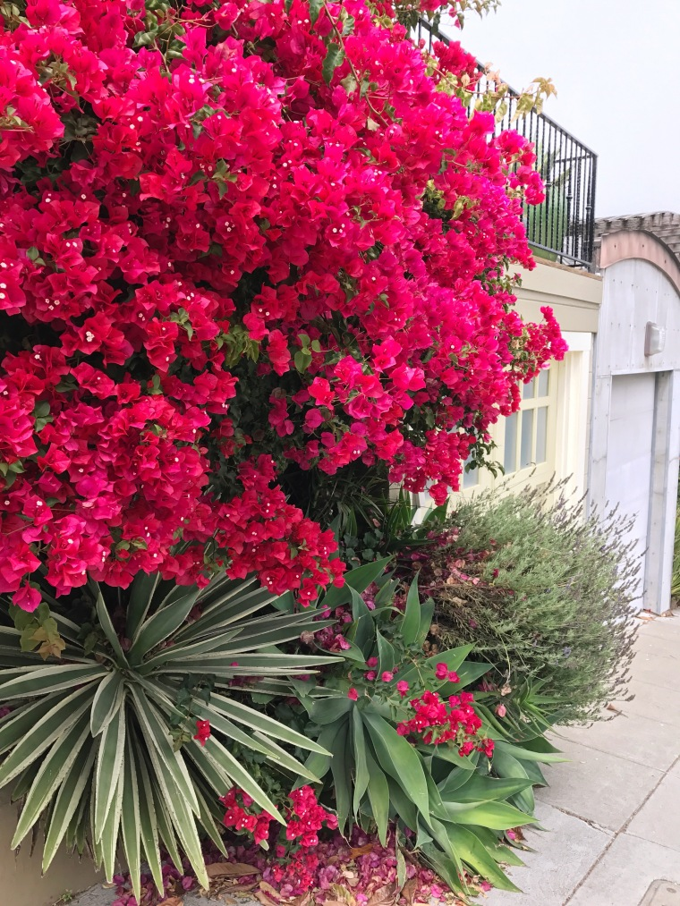 San Francisco bougainvillea